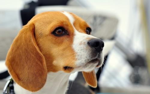 dog-beagle-muzzle-ears-puppy-2560x1600