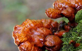 Гриб линчжи — целебный дар природы.