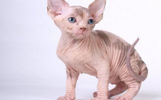 На каких кошек нет аллергии?