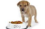 Как правильно кормить собаку до или после прогулки?