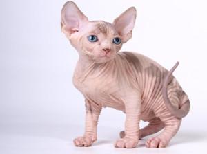 На каких кошек нет аллергии