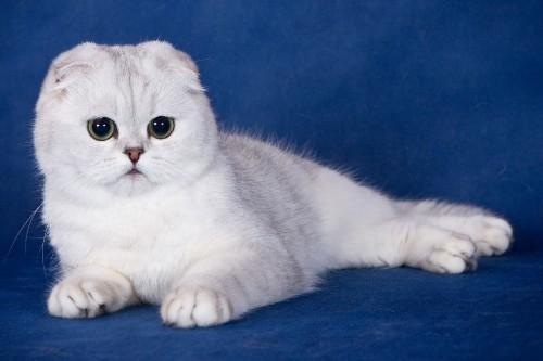 ผลการค้นหารูปภาพสำหรับ кошка с приплюснутым носом