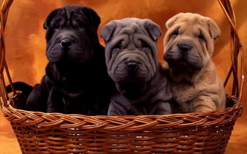 www.GetBg.net_Animals_Dogs_Sharpe_basket_030071_